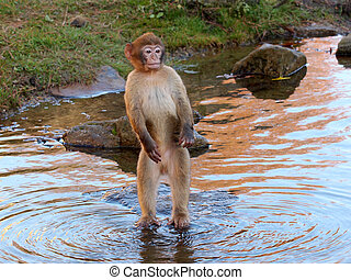 Berber, macaco