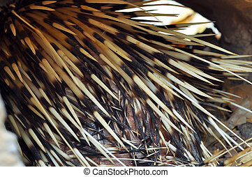 porcupine quill - Characteristics of porcupine quill is...