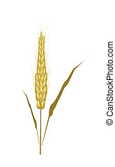 Golden Color of Wheat on White Background - Environmental...