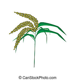 Green Colors of Unripe Millet on White Background -...