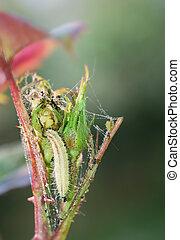 Larva on rose bud