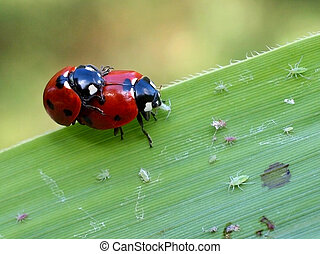 Mating lady bugs - Lady bugs mating, while the female is...