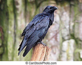Raven - A raven on a branch with a rocky background