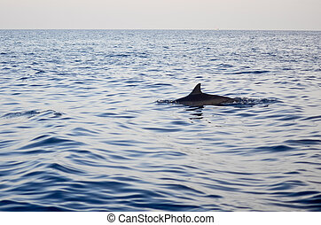 Dolphin jumping. Splashing water. Early morning light. -...