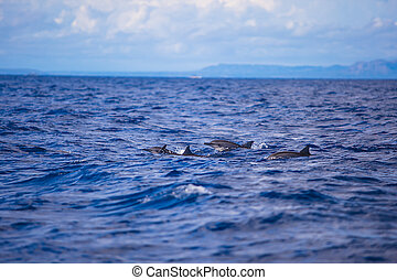 Dolphins in open blue sea swimming next to each other