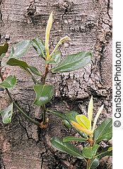 magnolia buds