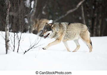 Wolves walking in the cold forest - Wolf walking in the snow...