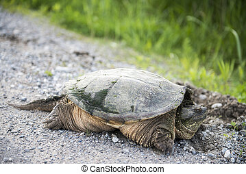 Snapping Turtle on Gravel