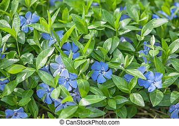 periwinkle - blue periwinkle flowers close up