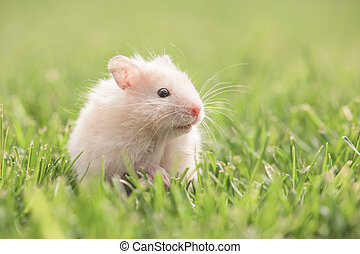 hamster - white hamster on lawn closeup