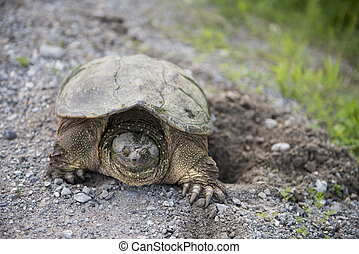 Snapping Turtle on Gravel digging a hole