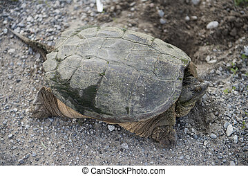 Snapping Turtle on Gravel Road