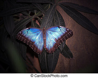 Blue Beauty - Common Morpho butterfly in tropical garden.