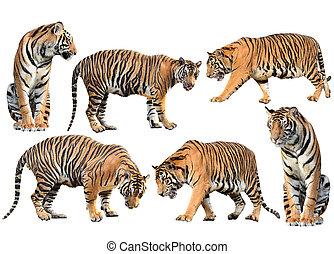 tiger, 隔離された, コレクション, ベンガル