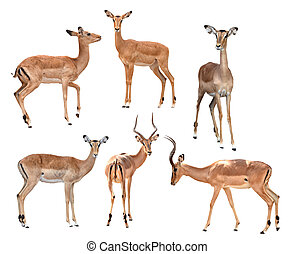 impala isolated collection - male and female impala isolated...