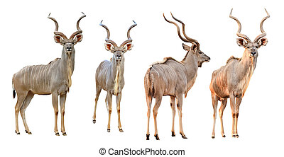 Kudu, 男性, 被隔离, 彙整