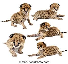 嬰孩,  serval, 彙整, 被隔离