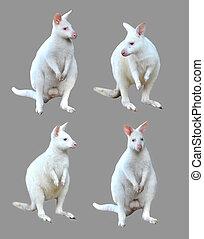 小袋鼠, 被隔离, 彙整, 白化体