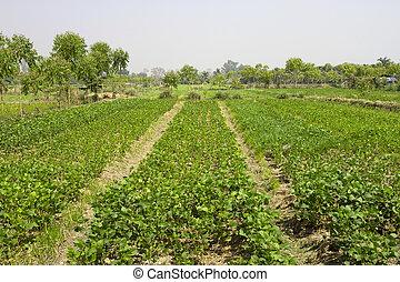 plantas, amendoim, filas, tailandia