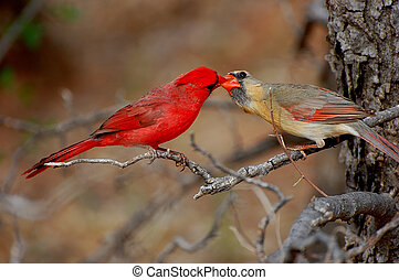 Sharing - Two Northern Cardinals, The male was sharing his...