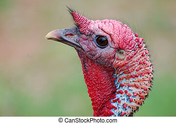 Upclose - Wild Turkey upclose with beautiful colors