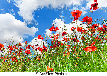 Red poppy flowers - Poppies flowers in the spring field shot...