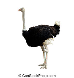 ostrich - image of ostrich isolated on background - animal...