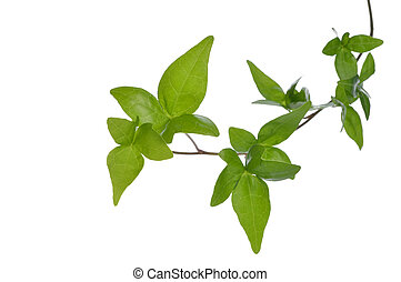Close up of ivy plant isolated. - Close up green ivy...