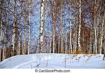Winter landscape 1 - Birch in forest against the background...