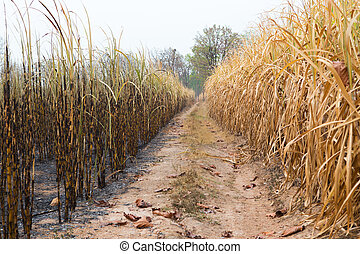 Sugarcane field fired. this harvest menthod make global...