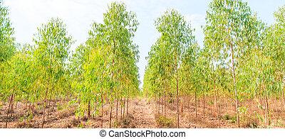 Eucalyptus forest with sunlight asia thailand