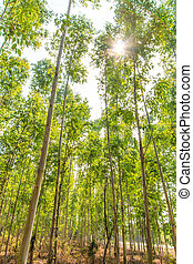 Eucalyptus forest with sunlight asia thailand