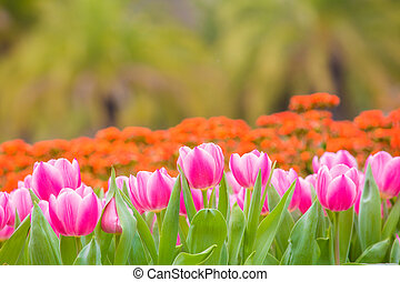 healthy and beautiful tulip flowers