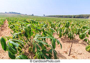 Cassava farm in asia thailand