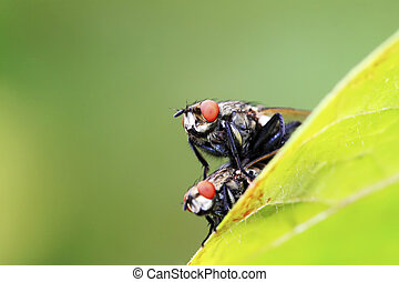 two muscidae insects mating