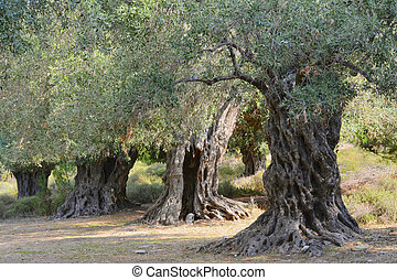 Ancient olive trees on the greek island of Thassos.
