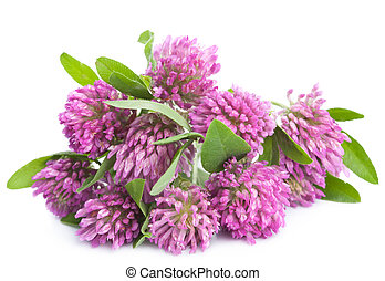 pink clover flower isolated