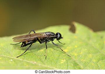 blackwater gadfly - a blackwater gadfly on a green leaf