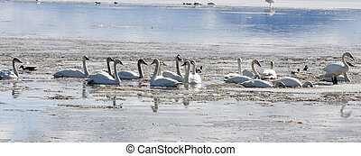 Tundra Swan. Photo taken at Lower Klamath National Wildlife...