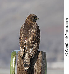 Immature Red Tailed Hawk. Photo taken at Lower Klamath...