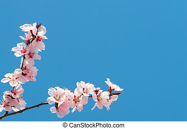pink cherry flowers on a blu sky for gretting-cards or...