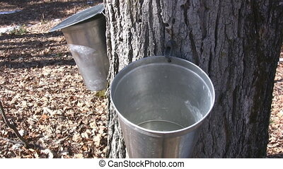 Maple Sap - Maple Trees Tapped To Harvest Sap For Maple...