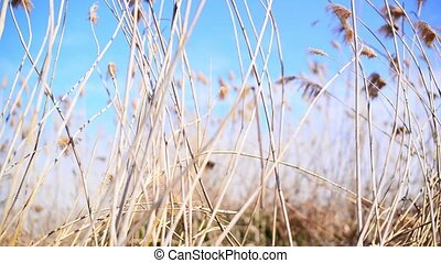 Wind blowing in the reed on a sunny spring day