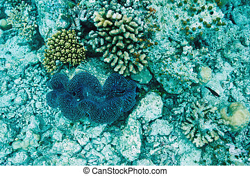 Giant clam Tridacna gigasat the tropical coral reef