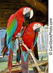 Green-winged Macaw on tree branches within the exhibit.