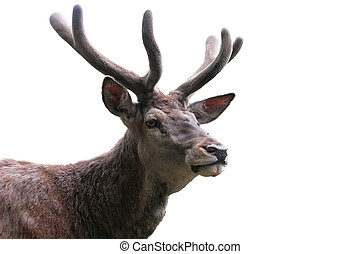 wild stag portrait isolated on white for hunting