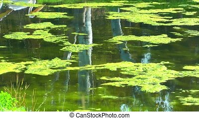 Pelican on the Green Lake - Pelican reflection on the Green...