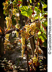 Ripe cluster of white grapes in wineyard. - Ripe clusters of...
