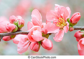 Spring pink flowers and buds