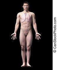 Asiático, anatomia